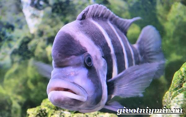 Фронтоза-рыба-Описание-особенности-содержание-и-цена-фронтозы-3