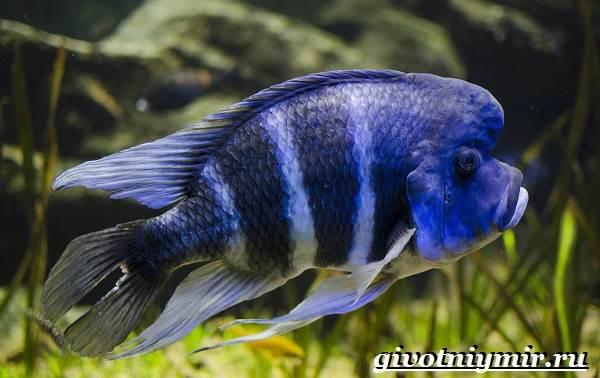 Фронтоза-рыба-Описание-особенности-содержание-и-цена-фронтозы-5