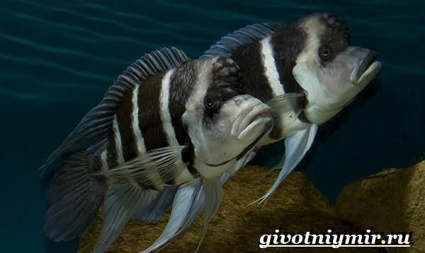 Фронтоза-рыба-Описание-особенности-содержание-и-цена-фронтозы-6