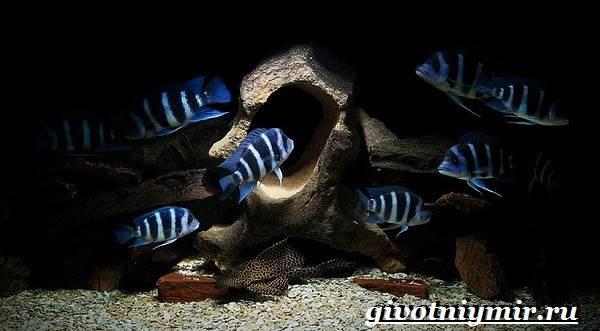 Фронтоза-рыба-Описание-особенности-содержание-и-цена-фронтозы-8