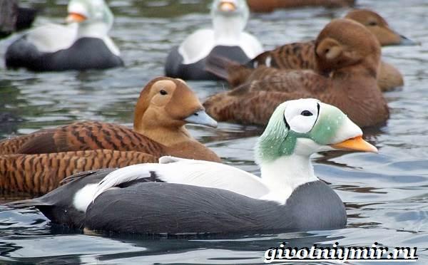 Гага-птица-Образ-жизни-и-среда-обитания-птицы-гага-3