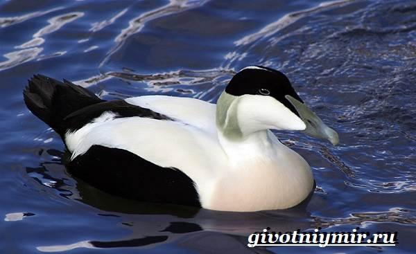 Гага-птица-Образ-жизни-и-среда-обитания-птицы-гага-4