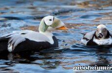 Гага птица. Образ жизни и среда обитания птицы гага