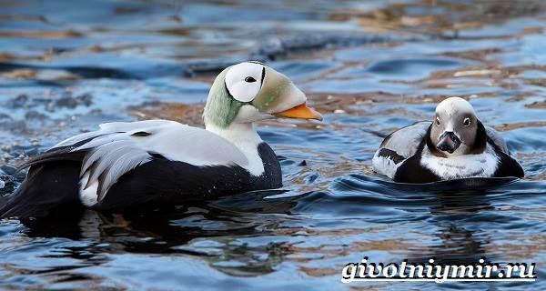 Гага-птица-Образ-жизни-и-среда-обитания-птицы-гага-6