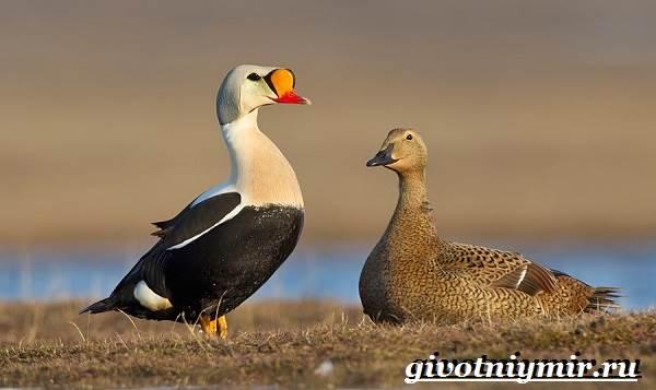Гага-птица-Образ-жизни-и-среда-обитания-птицы-гага-7