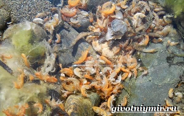 Гаммарус-рачок-Образ-жизни-и-среда-обитания-гаммаруса-7