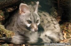 Генетта животное. Образ жизни и среда обитания генетты