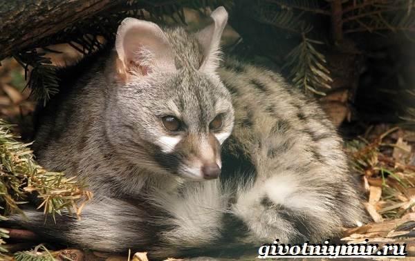 Генетта-животное-Образ-жизни-и-среда-обитания-генетты-1