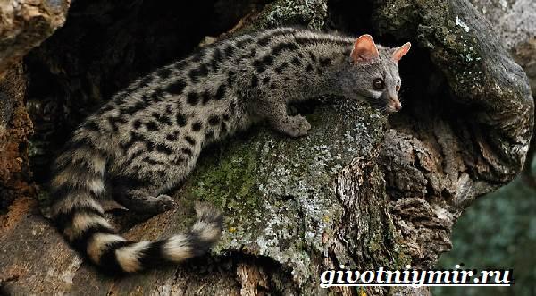 Генетта-животное-Образ-жизни-и-среда-обитания-генетты-2