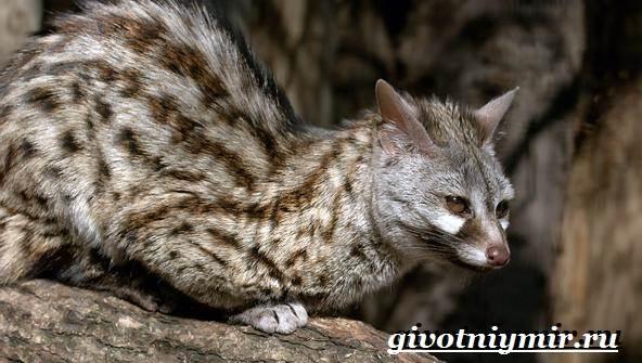 Генетта-животное-Образ-жизни-и-среда-обитания-генетты-3