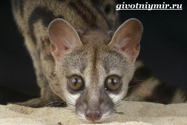 Генетта-животное-Образ-жизни-и-среда-обитания-генетты-4