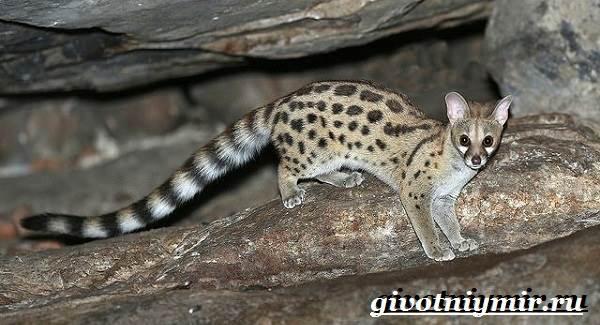 Генетта-животное-Образ-жизни-и-среда-обитания-генетты-5