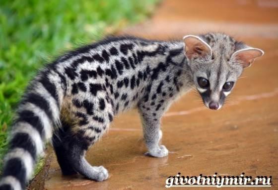 Генетта-животное-Образ-жизни-и-среда-обитания-генетты-6