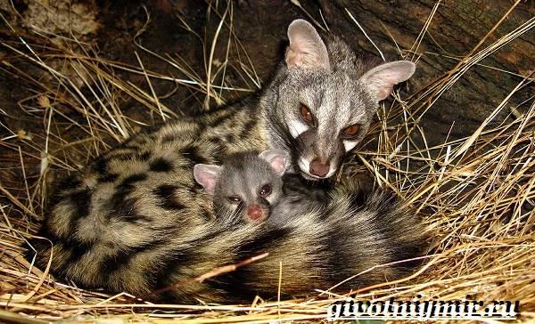 Генетта-животное-Образ-жизни-и-среда-обитания-генетты-8