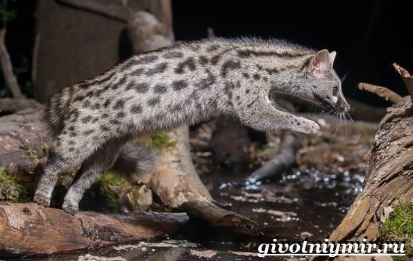 Генетта-животное-Образ-жизни-и-среда-обитания-генетты-9