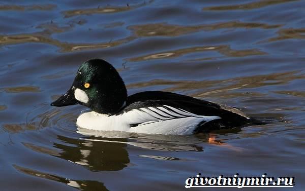 Гоголь-птица-Образ-жизни-и-среда-обитания-птицы-гоголь-2