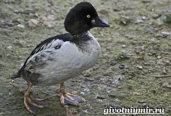 Гоголь-птица-Образ-жизни-и-среда-обитания-птицы-гоголь-4