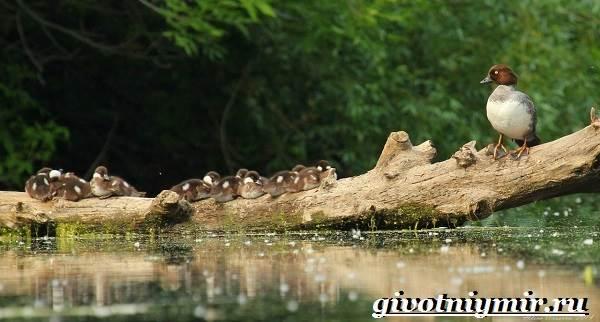 Гоголь-птица-Образ-жизни-и-среда-обитания-птицы-гоголь-8