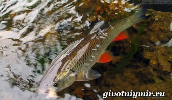 Голавль-рыба-Образ-жизни-и-среда-обитания-рыбы-голавль-2