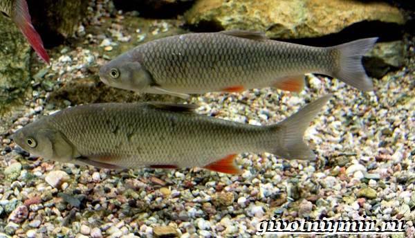 Голавль-рыба-Образ-жизни-и-среда-обитания-рыбы-голавль-3