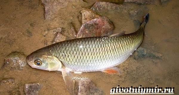 Голавль-рыба-Образ-жизни-и-среда-обитания-рыбы-голавль-4