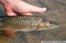 Голавль рыба. Образ жизни и среда обитания рыбы голавль