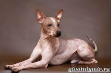 Голый терьер собака. Описание, уход и цена породы голый терьер
