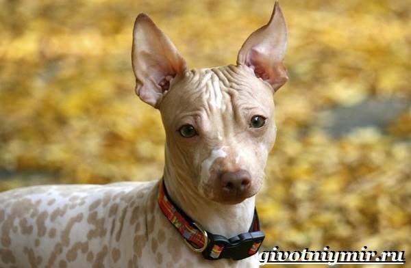 Голый-терьер-собака-Описание-уход-и-цена-породы-голый-терьер-3