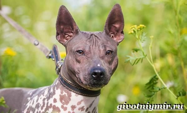 Голый-терьер-собака-Описание-уход-и-цена-породы-голый-терьер-7