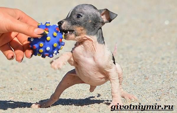 Голый-терьер-собака-Описание-уход-и-цена-породы-голый-терьер-9