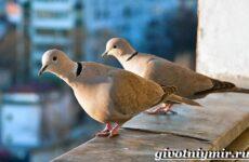 Горлица птица. Образ жизни и среда обитания горлицы