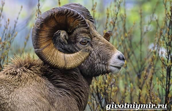 Горный-баран-Образ-жизни-и-среда-обитания-горного-барана-1