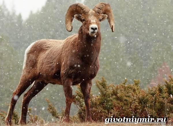 Горный-баран-Образ-жизни-и-среда-обитания-горного-барана-2
