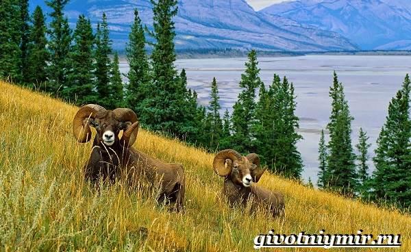 Горный-баран-Образ-жизни-и-среда-обитания-горного-барана-3