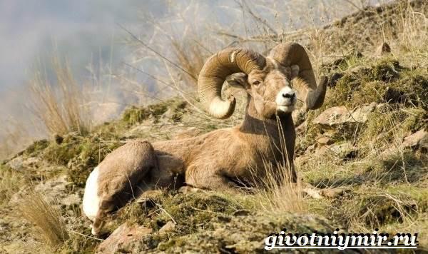 Горный-баран-Образ-жизни-и-среда-обитания-горного-барана-4