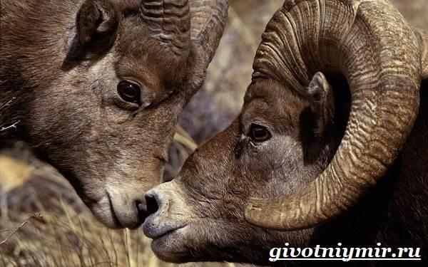 Горный-баран-Образ-жизни-и-среда-обитания-горного-барана-5