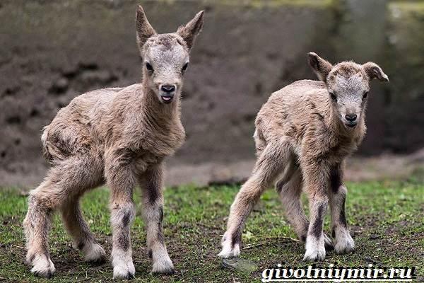 Горный-баран-Образ-жизни-и-среда-обитания-горного-барана-6