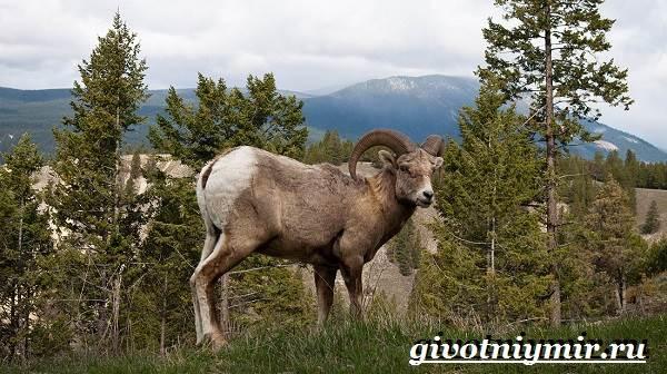 Горный-баран-Образ-жизни-и-среда-обитания-горного-барана-8