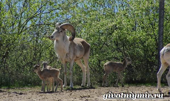 Горный-баран-Образ-жизни-и-среда-обитания-горного-барана-9