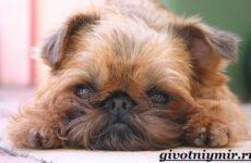 Гриффон собака. Описание, особенности, уход и цена собаки грифон