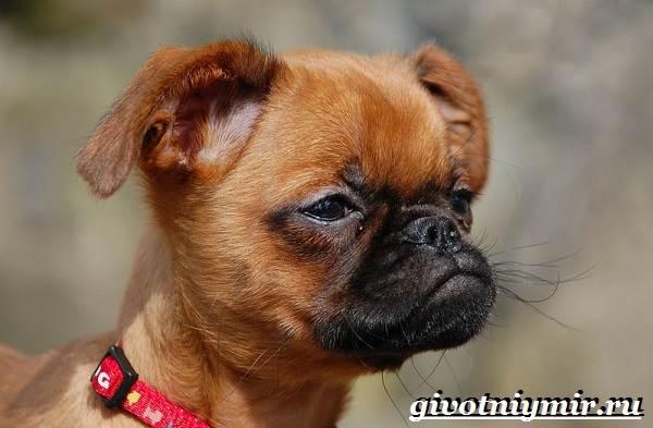 Гриффон-собака-Описание-особенности-уход-и-цена-собаки-грифон-6