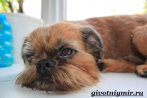 Гриффон-собака-Описание-особенности-уход-и-цена-собаки-грифон-7