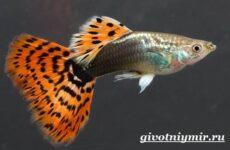 Гуппи рыбки. Описание, особенности, содержание и цена рыбок гуппи