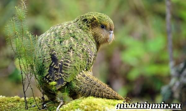 Какапо-попугай-Образ-жизни-и-среда-обитания-попугая-какапо-1