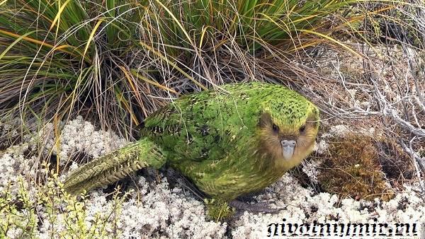 Какапо-попугай-Образ-жизни-и-среда-обитания-попугая-какапо-2