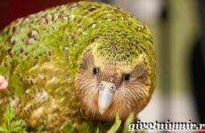 Какапо попугай. Образ жизни и среда обитания попугая какапо