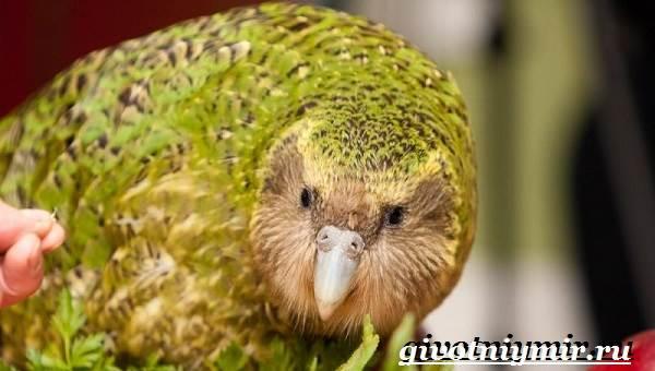 Какапо-попугай-Образ-жизни-и-среда-обитания-попугая-какапо-3