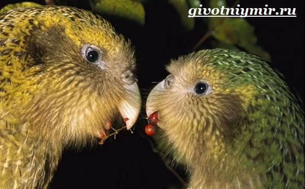 Какапо-попугай-Образ-жизни-и-среда-обитания-попугая-какапо-4