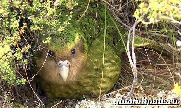 Какапо-попугай-Образ-жизни-и-среда-обитания-попугая-какапо-6