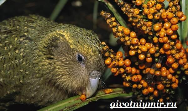 Какапо-попугай-Образ-жизни-и-среда-обитания-попугая-какапо-7